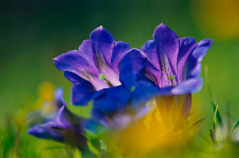 Bergfotografie: Blume, Makroaufnahme