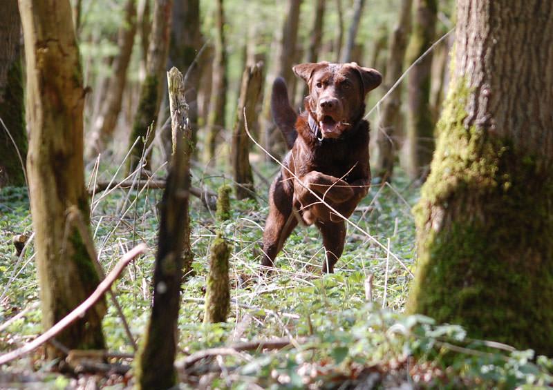 Professionelle Tierfotografie: Ein Hund rennt durch einen Wald