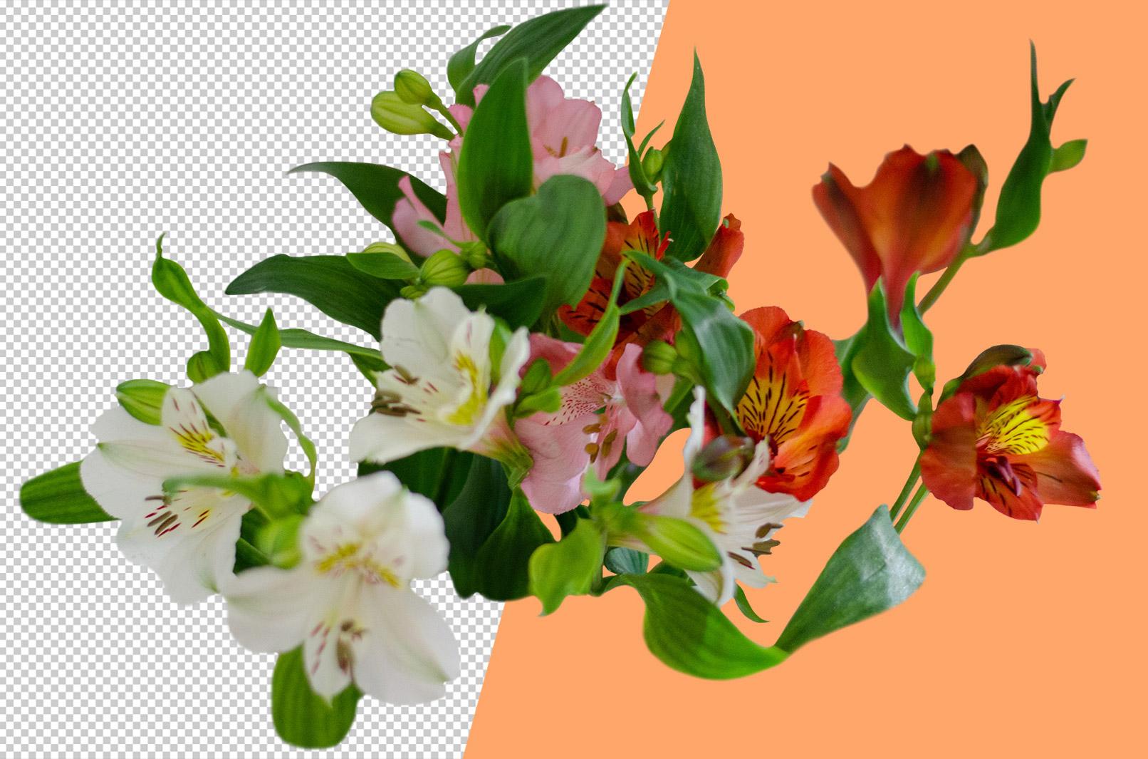 Bild einer Inkalilie, das zeigt, dass die Blumen freigestellt sind