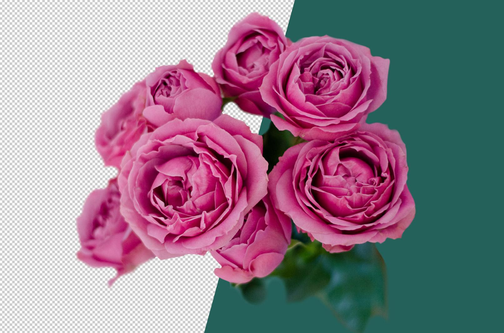 Rosa Rosen vor transparentem Hintergrund